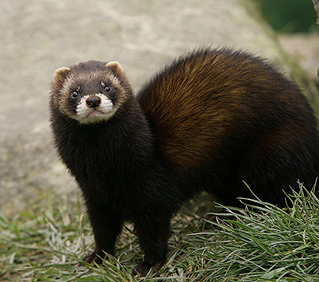 The steppe polecat (Mustela eversmanii), also known as the white or masked polecat, is a species of mustelid native to Central and Eastern Europe and Central Asia. Description from pixgood.com. I searched for this on bing.com/images