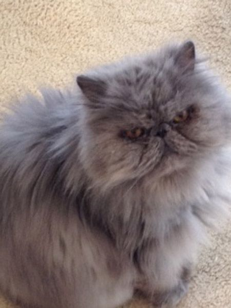 Persian Himalayan Cat Rescue Picture in Persian Cat; Holy crap, this cat could have come from the samelitter as my baby that passed away recently! Seriously uncanny resemblance. Gorgeous animals!