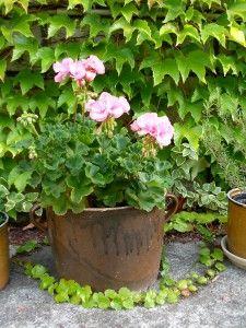 Růžový muškát