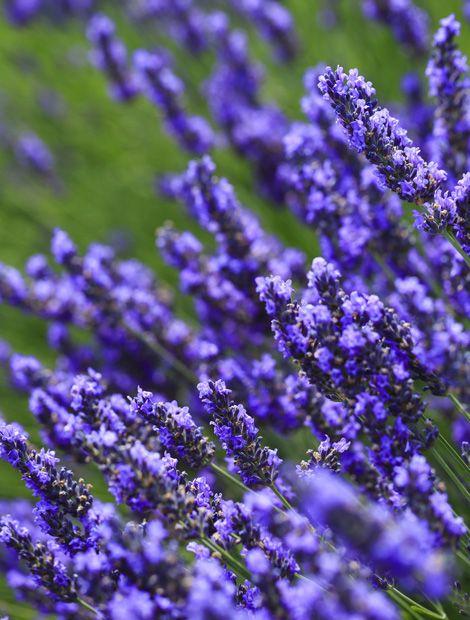 114 best garten: lavendel images on pinterest | lavender fields, Gartenarbeit ideen