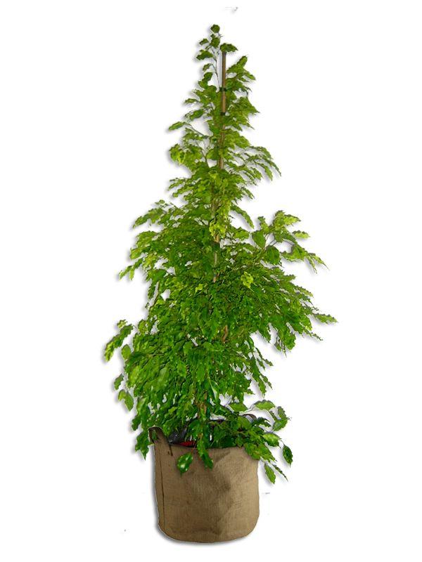Ficus frisé 150cm