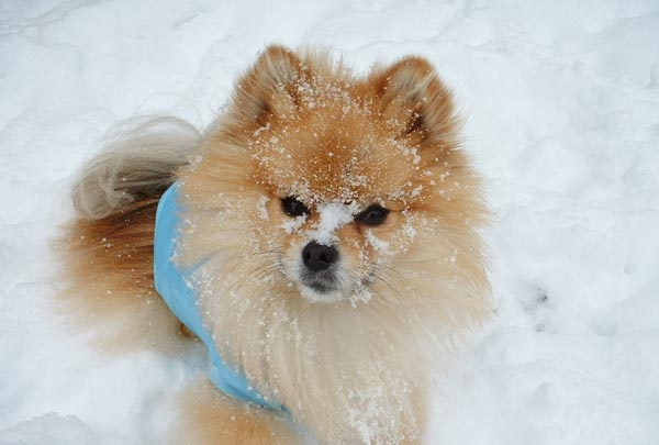 After you dog comes in from the snow, sleet, or ice, be sure to thoroughly wipe off his legs, paws, stomach, and anywhere else the came in contact with the cold stuff. Paw pads are particularly sensitive to the elements and can become dry, cracked, and bleed from exposure to the snow and ice. Dogs can also pick up salt, antifreeze, or other potentially dangerous chemicals while outside--wiping him down can help prevent accidental ingestion.    (Photo credit: iWitness contributor clbb1965)