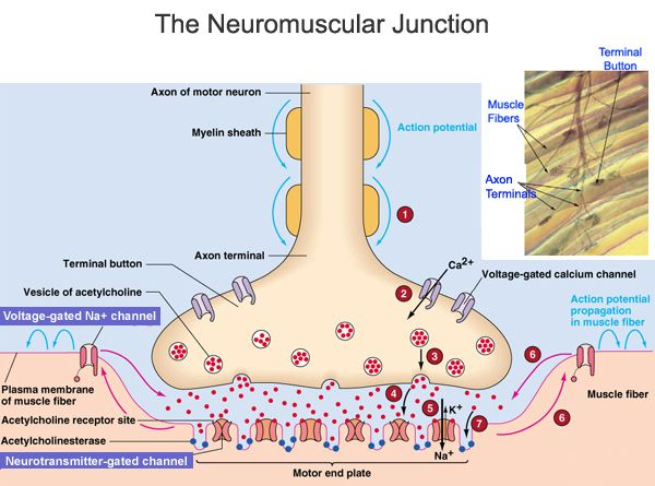 1000+ ideas about Neuromuscular Junction on Pinterest | Physiology ...