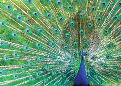 Peacock #feathers #postcards