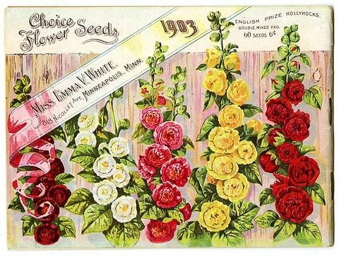 """A row of English Hollyhocks in various colors can be found on the back cover of Emma V. White's 1903 catalog. Emma V. White called herself the """"North Star Seedswoman"""" and had her first mailing in 1896. She produced small catalogs titled """"Choice Flower Seeds"""" with colorful, hand painted covers aimed at woman customers."""