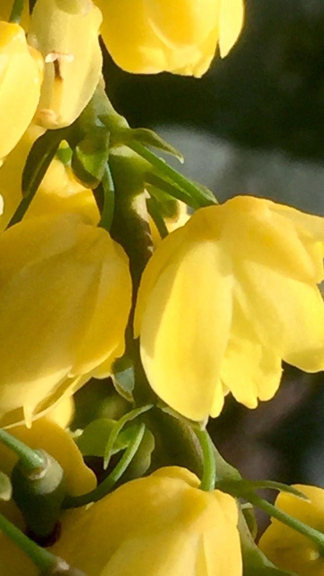 Fiori Gialli Yellow Flowers.Mahonia Yellow Flowers Fiori Gialli
