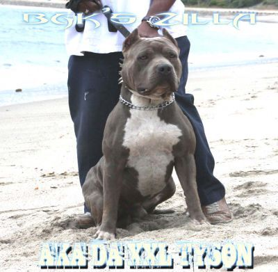 BGK - XXL Pitbulls. They have some beautiful pits. This is where i want to buy mine from! <3