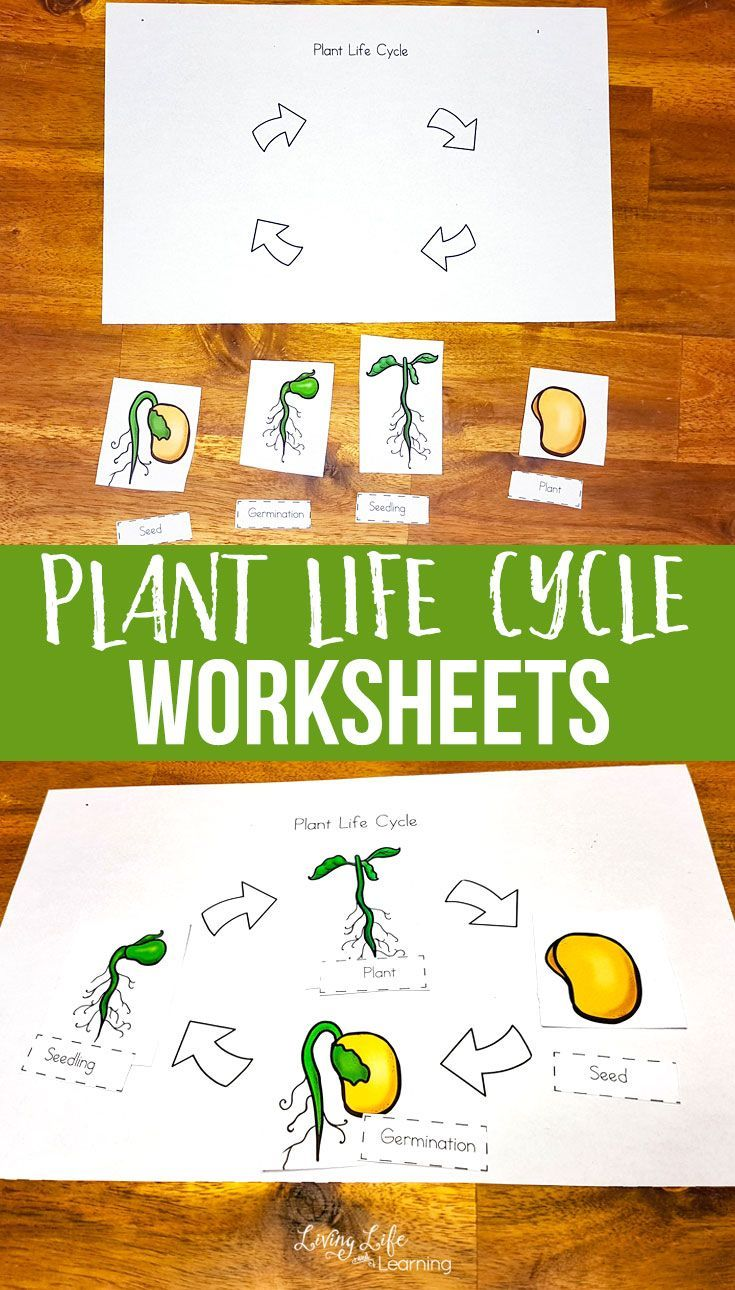 Plant Life Cycle Worksheets For Kids Plant Life Cycle Worksheet Plant Life Cycle Life Cycles [ 1290 x 735 Pixel ]