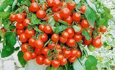 Mit ihrem buschigen Wuchs ist die Attila Hildmann BIO-Tomate 'Balkoni Red' nicht nur geschmacklich ein Highlight, sondern dekoriert auch sehr schön Kübel, Blumenkästen, Schalen und Hanging-Baskets auf Balkon und Terrasse. Die Balkontomate 'Balkoni Red' im MEIN SCHÖNER GARTEN-Shop kaufen