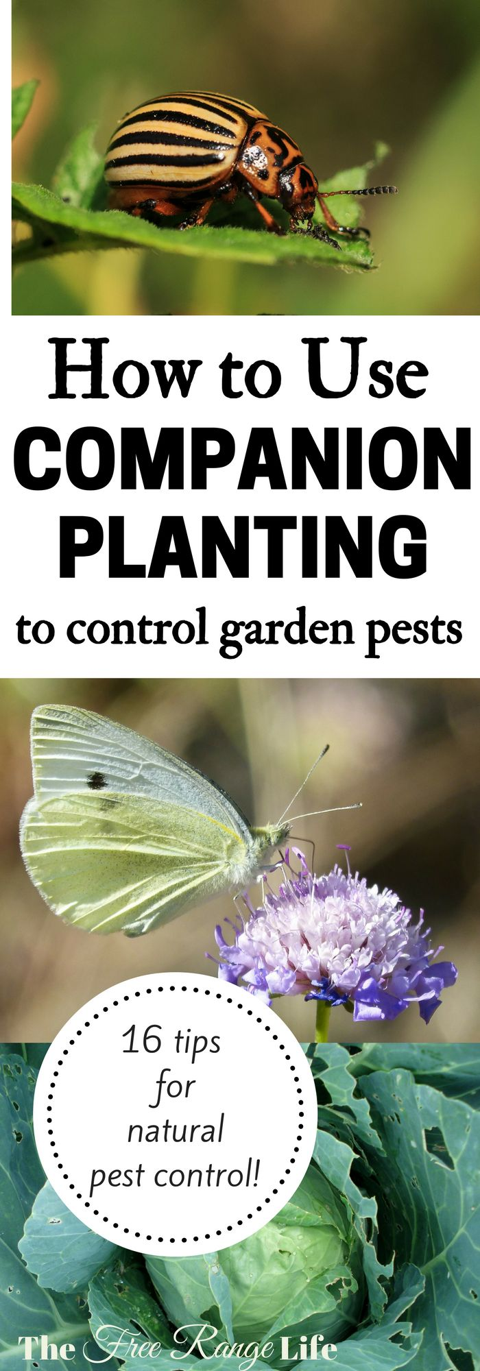 Organic Gardening Tips! Great ideas on how to use companion planting to get rid of pests naturally in the garden!