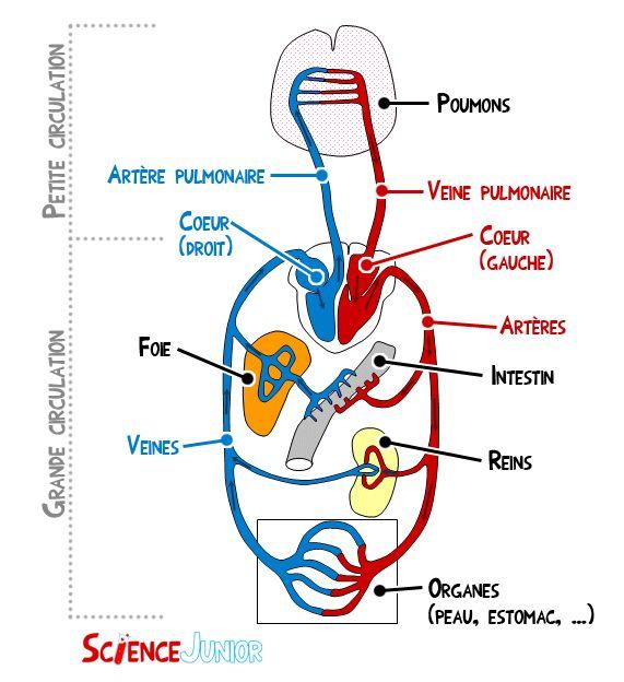 Le système cardio-vasculaire en détail | ScienceJunior.fr