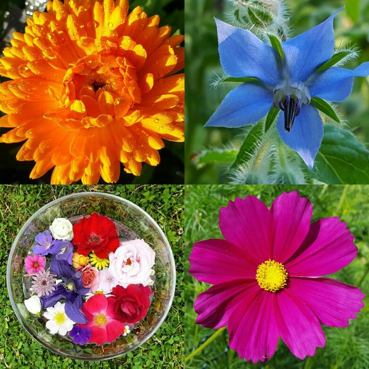 All flowers grown on my flower farm, with essences created from them. Top left: Calendula to feel ahhh that's better. Top right, Borage, to feel light hearted once again. Bottom right, Cosmos for inspiration. Bottom left, Summer Blessings, to feel the gratitude and love of nature.