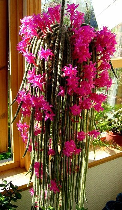 Rat Tail Cactus in bloom/ Don't think it would work here but it's gorgeous and exotic:
