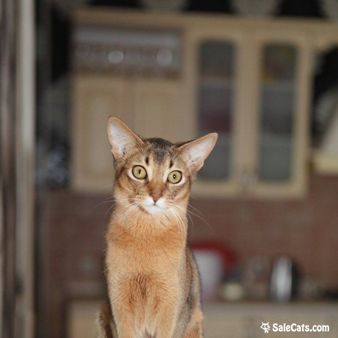 😻 Abyssinian variant girl 😻 Abyssinian variant (shorthaired somali) girl ruddy colour is for sale. FIFe registration, fully vaccination, pet passport. Very active, affectionate and smart. We are located in Russia, shipping is possible.  👇 Ссылка на страницу объявления 👇 https://salecats.com/board/177-abyssinian-variant-girl.html  Мы в Instagram www.instagram.com/saleofcats