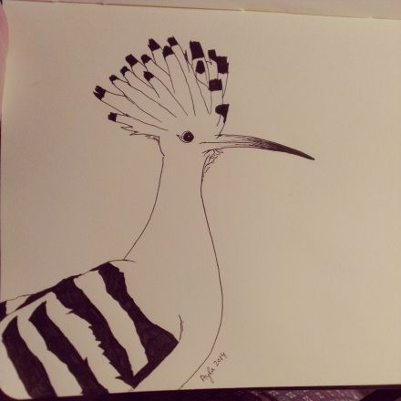 Day 18, #100daysofdoodling, a Hoopoe (Hop) by Ayla Paul