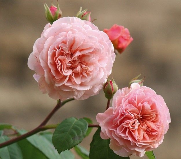 """ophelia a rose without thorns The two in hamlet however is no fusion, but rather the controlled and deliberate  beth rose ed, women in the middle ages and the renaissance:  """"[t]he nightingale supposedly sang with its breast against a thorn in order."""