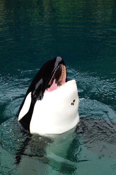 "#Sea #Ocean #Animals www.pegasebuzz.com | Orca, orque, killer whale, black fish. Keiko or ""Free Willy"". |www.ShareMySea.fr"