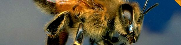 Finding a bee keeper is really a daunting task to do. The reason behind this is that there are a number of options available, these days. There are several professionals that can be hired for bee keeping. Even though, there are many professionals present in the market today but finding the best one is really essential. Visit here http://beewisemiami44.wordpress.com/2014/04/01/how-to-find-a-bee-keeper-miami/