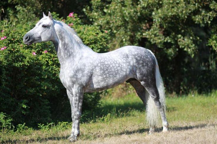 http://www.wwtraining.com/pages/horses/horses/alydar.html Firecrest Santa Fe - grey Morgan
