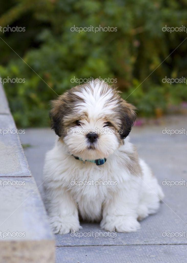 llaso apso puppies | Lhasa apso puppy | Foto Stock © Ruth Black #2262543