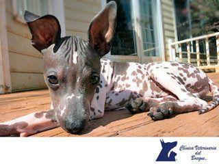 https://flic.kr/p/WkW3pY   Cómo cuidar a un perro sin pelo. CLÍNICA VETERINARIA DEL BOSQUE 2   ¿Cómo cuidar a un perro sin pelo?  LA MEJOR CLÍNICA VETERINARIA DE MÉXICO. Los perros sin pelo necesitan cuidados específicos para su piel, como protector solar y cremas hidratantes, además, no son aptos para climas extremos. Con una buena alimentación y cuidados en la hidratación de su piel, serán suficientes para que tenga una vida feliz. En Clínica Veterinaria del Bosque te invitamos a visitar…