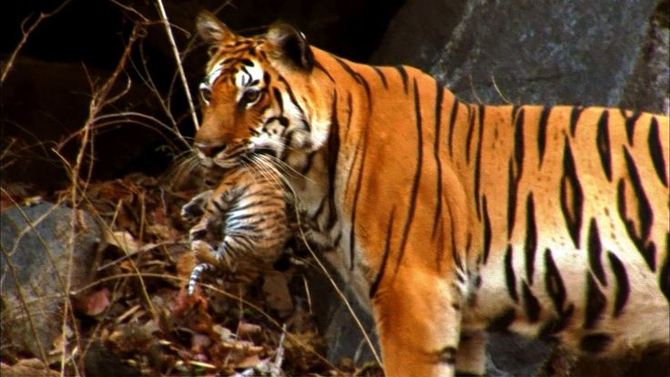 Wild tiger cub - for the first time on film - David Attenborough - Tiger...