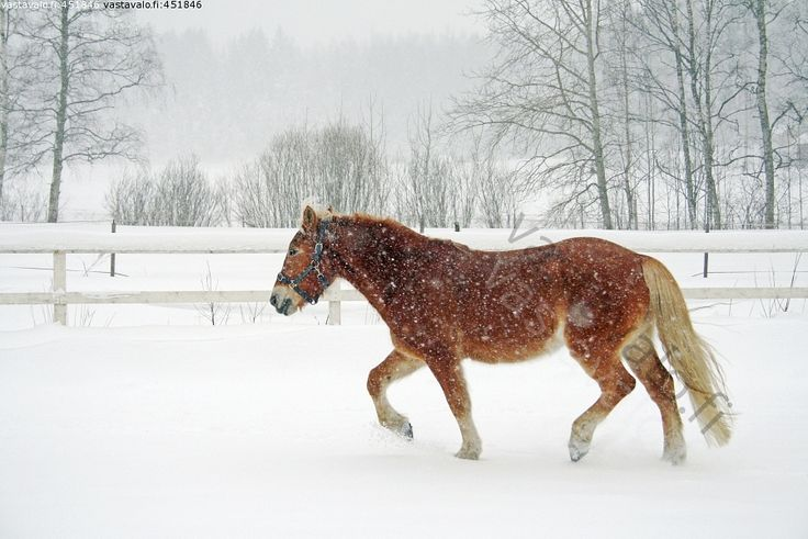 Kuva: Hevonen - hevonen suomenhevonen ruuna Equus caballus ...
