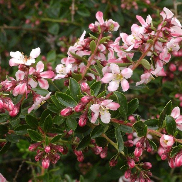 Escallonia Apple Blossom - Arbuste persistant à fleurs rose pales, H150 toutes expositionspâle.