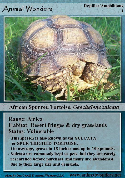 Sulcata Tortoise | Tortoise Diet | Sulcata tortoise, Tortoise