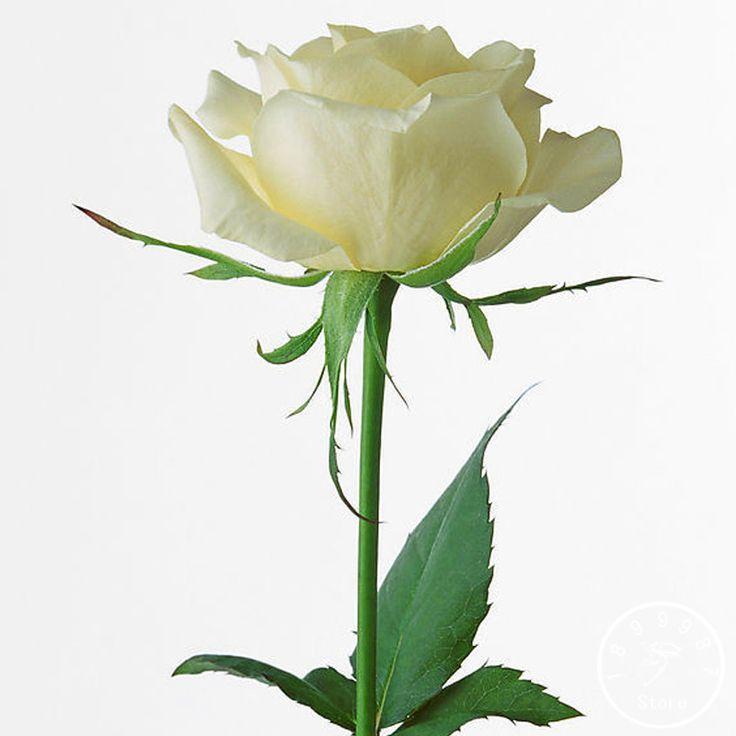 Vendita calda! 150 PZ/Lott Giardino di Rose Bianche Comune Semi di Fiori Profumati e Rose In Vaso Piante Che Crescono seme, # ZV4C0S(China (Mainland))