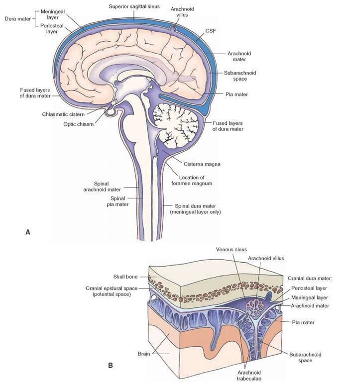 The coverings of the brain and spinal cord. (A) The brain and spinal cord are covered with three membranes: dura, arachnoid, and pia mater. The periosteal and meningeal layers of the dura are separate at the dural sinuses (e.g., superior sagittal sinus). At other places, the dura consists of fused periosteal and meningeal layers. The space between the arachnoid and pial membranes is called the subarachnoid space. The subarachnoid space is enlarged at some places (e.g., cisterna magna and…