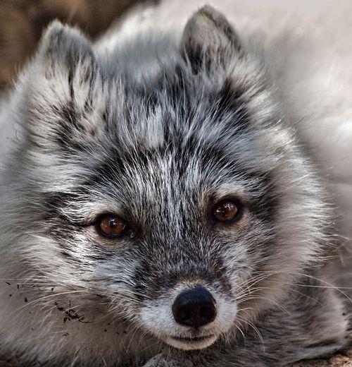 Artic Fox by Johanne Dauphinais.