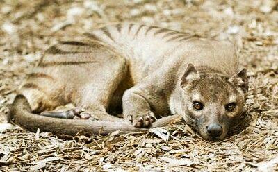 Thylacine- London zoo