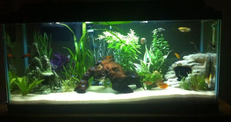 My 30 gallon long freshwater aquarium. Gourami, platy, angelfish, neon tetra, betta and cory inhabitants.