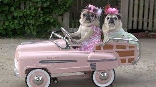 pugs and kisses - YouTube