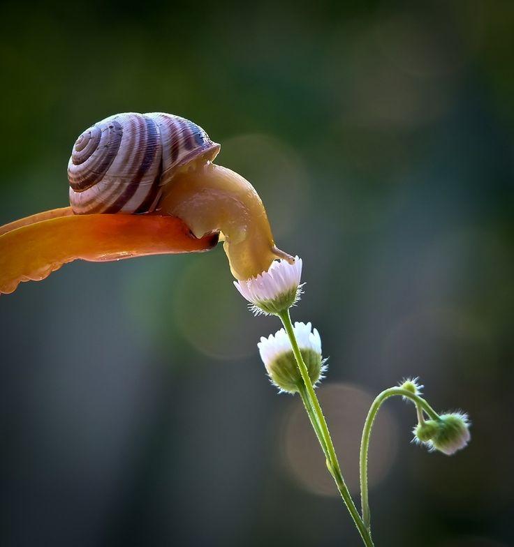 Snail drinking rainwater from flower