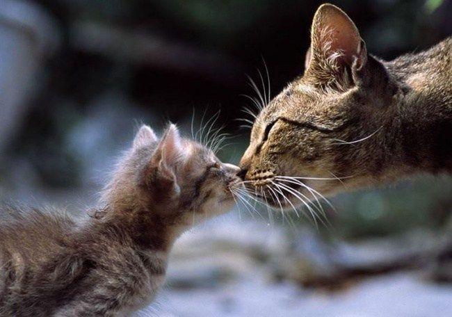 22. Кошки приветствуют друг друга, соприкасаясь носами.