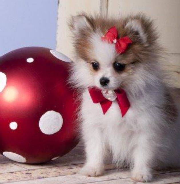 Toy teacup Pomeranian