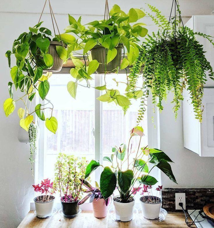 Super Big Boston Fern Golden Pothos Hangepflanzen Hintergrunde Kuche Dekor Fensterbank Dekor Big Boston Dek Hangepflanzen Pflanzen Dekor Hauspflanzen