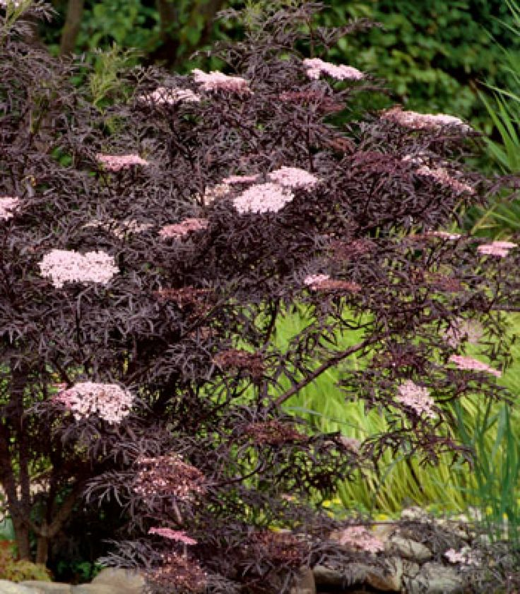 best 25 sambucus nigra black lace ideas on pinterest black lace elderberry sambucus black. Black Bedroom Furniture Sets. Home Design Ideas