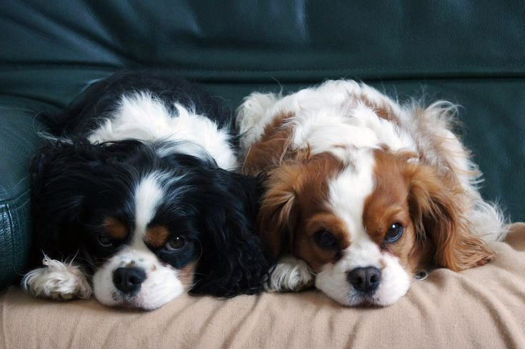 Low Maintenance Dogs For Busy Or Lazy People Lazy Dog Breeds Low Maintenance Dog Breeds Best Small Dog Breeds