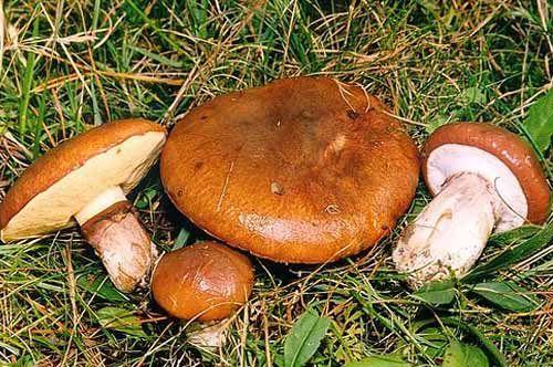 Шляпки грибов запечённые с сыром