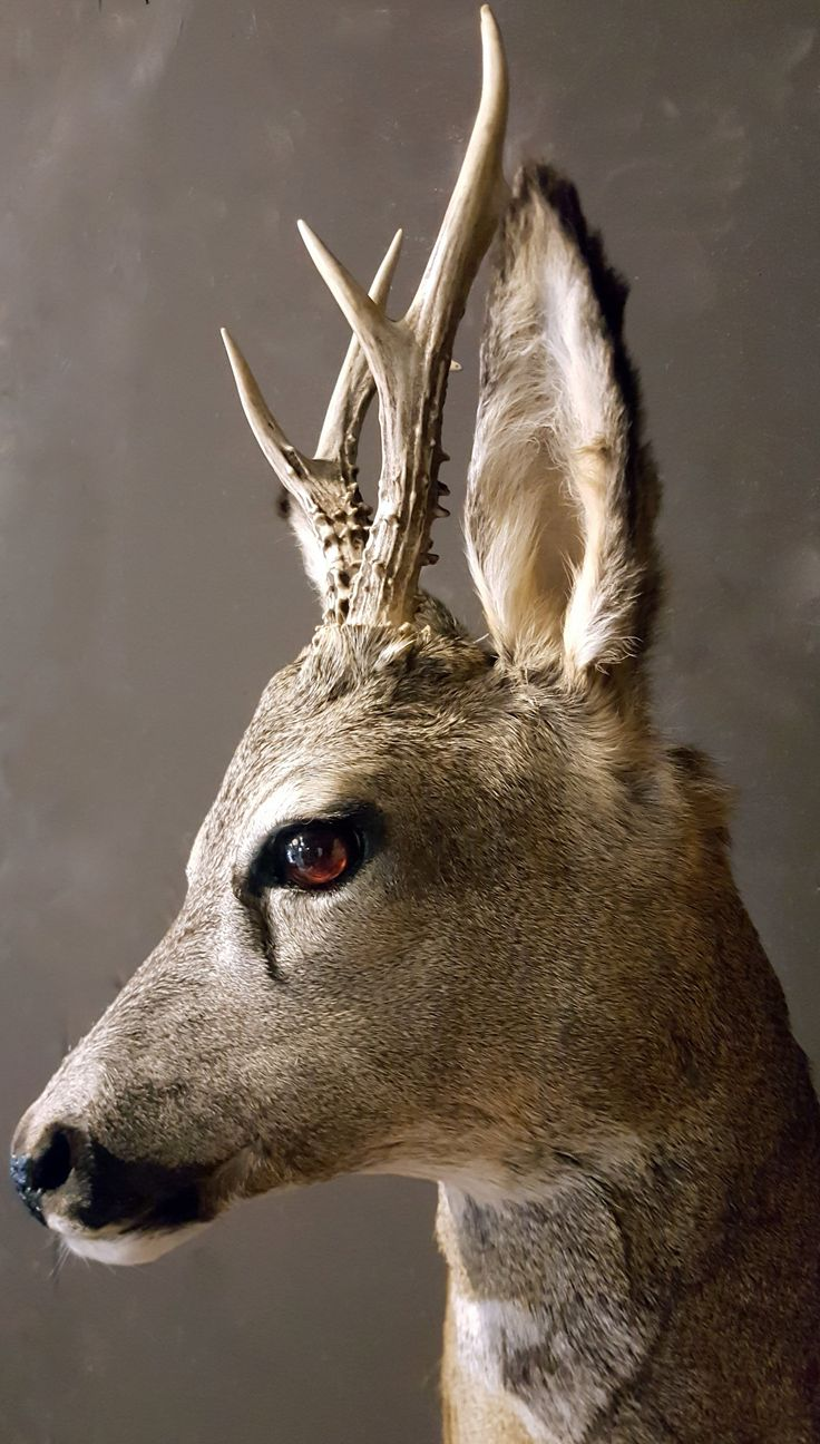 55 Best Images About Hunting Trophy On Pinterest Coyotes