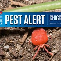 Don't think you'll get chiggers in your yard? Think again. These biting bugs love long grass, low-growing shrubs and shady spots. Learn how to protect your lawn and avoid their annoying itch. http://extension.missouri.edu/p/g7398
