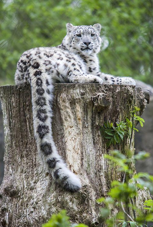 Snow Leopard (by Tony_Gardner)
