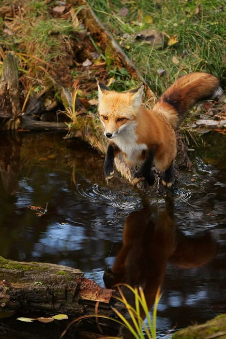 fox and forest image