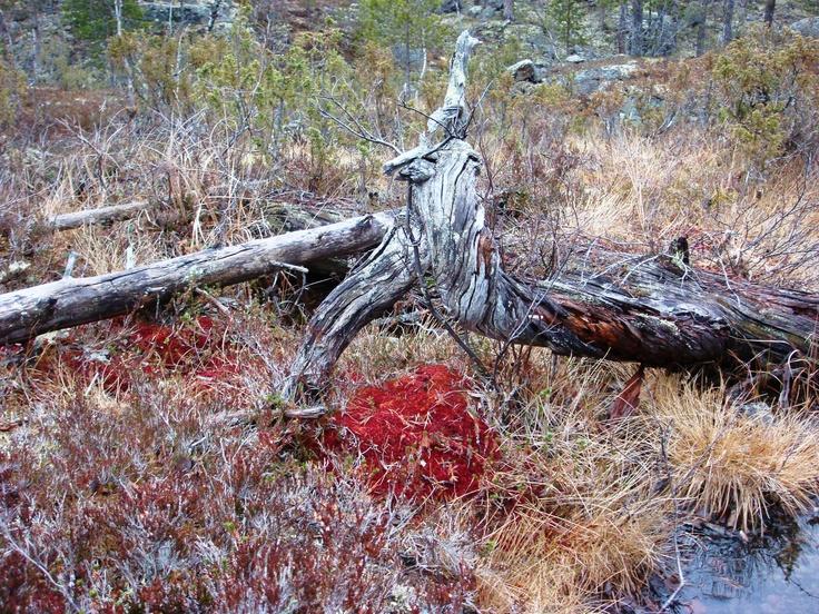 Autumn colours in Lapland