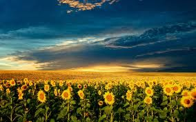 slunečnice, malé soukromé slunce