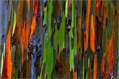 Блог: Радужный эвкалипт (Eucalyptus deglupta)