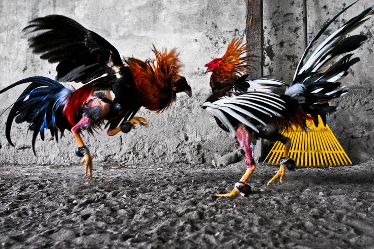 Cockfighting sport and culture. Breeding, training of cocks; cockfight arena and people involved in cockfights.